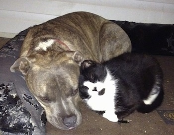 Close Up - A blue-nose Brindle Pit Bull Terrier is laying on a dog bed and a black with white cat is snuggling up next to him.