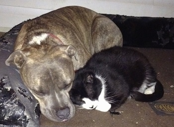 Close Up - A blue-nose Brindle Pit Bull Terrier is sleeping next to a black with white cat on a dog bed.