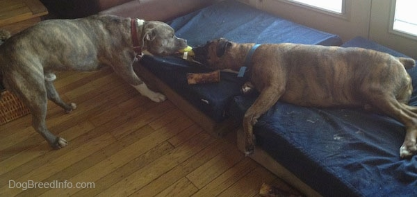 A blue-nose Brindle Pit Bull Terrier is having a tug of war against a brown brindle Boxer that is laying on its right side on a blue orthopedic dog bed that is against glass double doors and a brown leather couch.