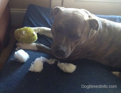 A blue-nose Brindle Pit Bull Terrier is laying across a blue blue orthopedic dog bed pillow and there is a green ball toy and piles of white stuffing in between his front paws.