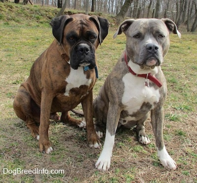 Boxer And Blue Nose Pitbull Mix Spencer and brother bruno