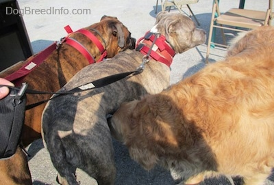 A brown brindle Boxer and a blue-nose Brindle Pit Bull Terrier are standing on a concrete surface and a Golden Retriever is sniffing under the Pit Bull Terrier.