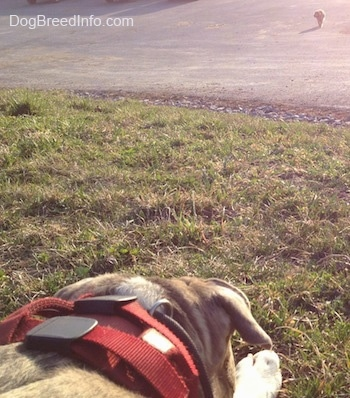 Close up - The back of a blue-nose Brindle Pit Bull Terrier that is laying down in grass and looking at an animal that is coming towards him from the distance.
