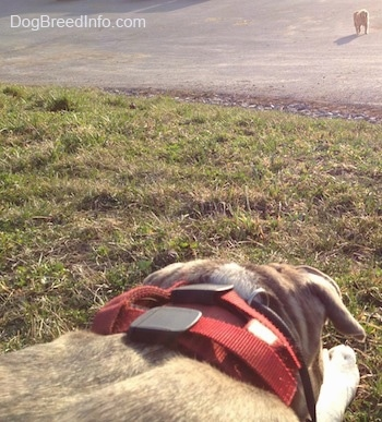 A blue-nose Brindle Pit Bull Terrier is laying down in grass and there is a dog walking towards him.