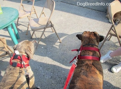 The back of a brown brindle Boxer and a blue-nose Brindle Pit Bull Terrier are standing on a concrete surface with metal chairs around them.