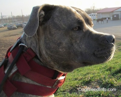 Close up side view head shot - The face of a blue-nose Brindle Pit Bull Terrier that is sitting outside in grass.