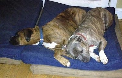 A brown brindle Boxer and a blue-nose Brindle Pit Bull Terrier are laying together on a blue orthopedic dog bed pillow.