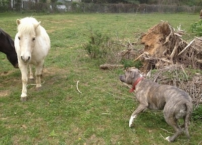 A blue-nose Brindle Pit Bull Terrier is looking over at a white Pony walking across a field.
