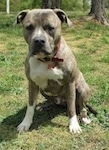 A blue-nose brindle Pit Bull Terrier is sitting on grass. He is looking forward and he is leaning forward slightly.
