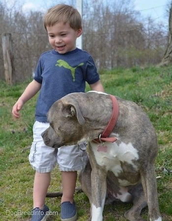 A smiling boy in a blue Puma shirt is standing in grass next to a blue-nose Brindle Pit Bull Terrier who is looking to the left.