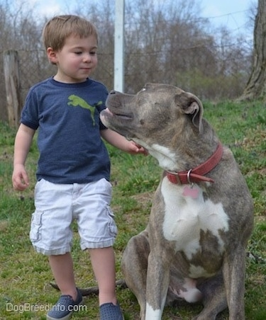 A toddler is standing behind a blue-nose Brindle Pit Bull Terrier. The dog is looking up at the toddler.