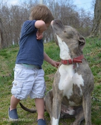 A toddler is wiping his face after it was licked by a blue-nose Brindle Pit Bull Terrier.