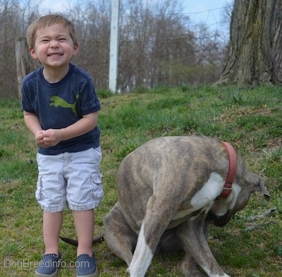 A toddler is laughing happily and next to him is a blue-nose Pit Bull Terrier that is licking the side of his leg.