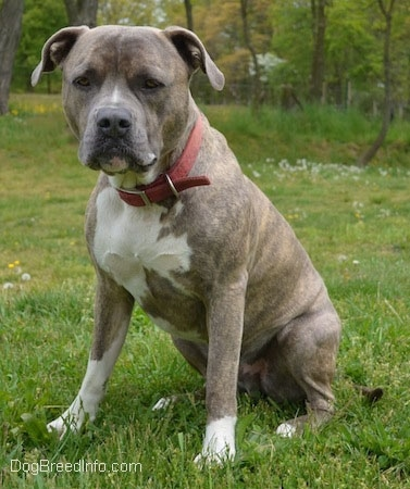 A large-headed, blue-nose Brindle Pit Bull Terrier dog is wearing a red collar sitting in grass and he is looking forward.