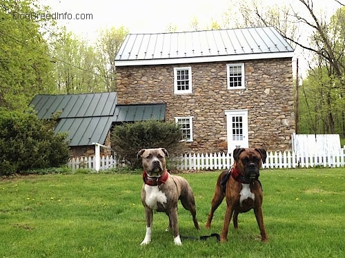 A blue-nose Brindle Pit Bull Terrier is standing in grass next to a brown brindle boxer in front of an old stone house with a green tin roof.