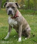 A blue-nose brindle Pit Bull Terrier is sitting in grass and he is looking forward. There are trees on a small hill in the background.