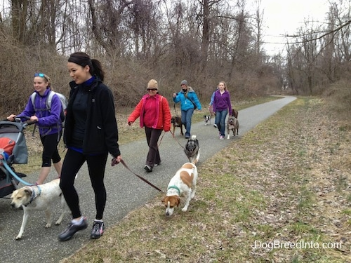 Six ladies and a baby are leading seven dogs on a pack walk across a walkway.