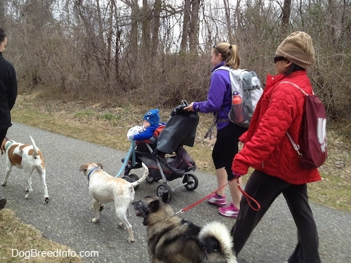 A lady in a purple fleece is pushing a stroller with a baby in it and she is also walking with a white with brown Pit Bull mix up a walkway. Behind them is a lady in a red coat walking a Norwegian Elkhound and in front of them is a lady walking an orange and white Beagle mix.