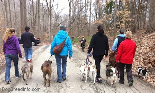 The back of six people that are leading seven dogs on a walk down a street. There is a child riding a bike in front of them.