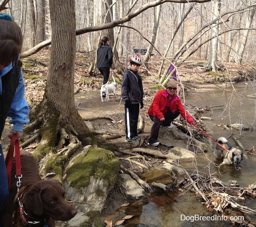 A lady in red is holding the leash of a Norwegian Elkhound that is laying in a creek with a little boy in a bike helmet behind her. There is a lady in a black vest standing next to a chocolate dog. There is a lady in black walking around a creek with a white dog.