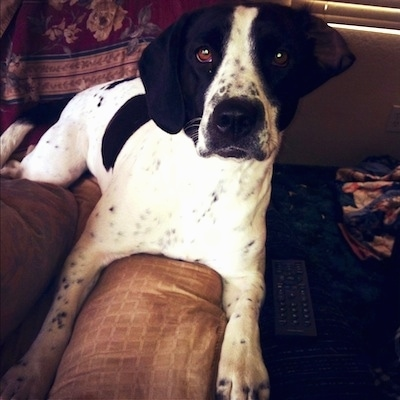 Close up front view - A black and white Springer Pit dog is laying on the arm of a couch looking forward. It has round brown eyes and black ticking on the white areas of its body.