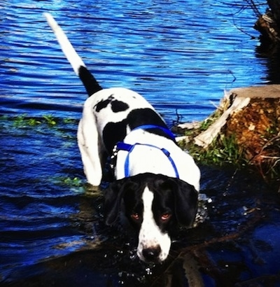 The back of a black and white Springer Pit that is standing in a body of water near a stump. The dog is wearing a blue harness. Its eyes are brown and the water is shining blue.
