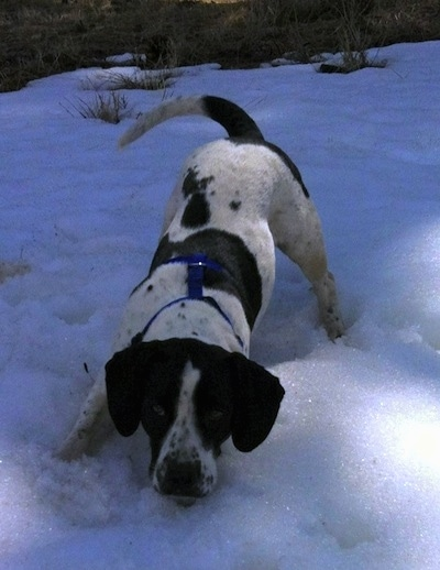 A black and white Springer Pit is standing in snow outside. Its chin is hovering above the snow in a play bow pose and it is looking forward. The dog is wagging its tail.
