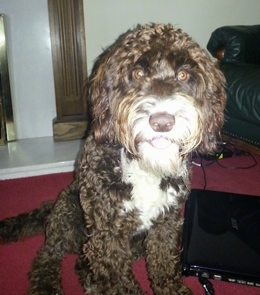 A thick, culy coated, chocolate with white Springerdoodle dog sitting on a red carpeted surface and looking forward. The dog has wide round brown eyes. To the right of it is an acer laptop. It is all brown with white on the front of its face and chest. The dog's tongue is showing.