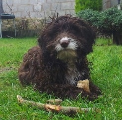 A chocolate with white Springerdoodle puppy is laying in a yard looking forward with a bone stick in front of it and it has a bone in between its front paws.