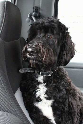 Front view - A wavy coated, black with white Springerdoodle dog is sitting against the backseat of a vehicle looking out of the back window.