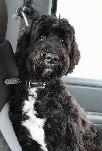 A black with white Springerdoodle is sitting against the backseat of a vehicle and it is looking forward.