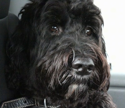 Close up head shot - A black with white Springerdoodle that is sitting in the backseat of a vehicle. It has dark wide round eyes.