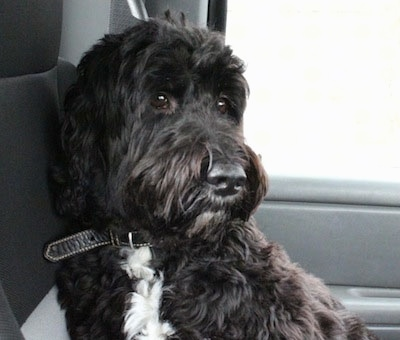 A thick coated, black with white Springerdoodle is sitting in the backseat of a vehicle.