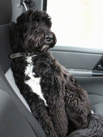 Front side view - A thick, wavy coated, black with white Springerdoodle is laying against the back gray bucket seat in a car looking to the right.