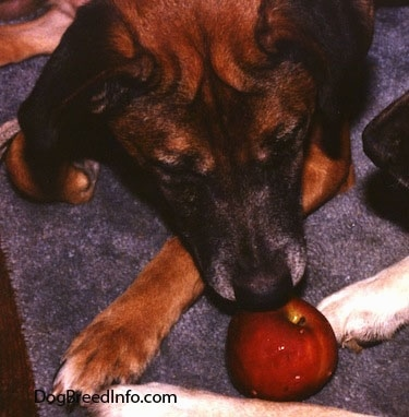 Close up - A brown with black Staffy Bull Pit dog is laying down on a carpet and it is sniffing a shiny red apple. The dog has wrinkles on its forehead.