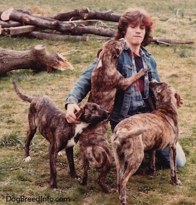 A person in a blue jean denim jacket is sitting on his knees outside in grass. A litter of Staffy Bull Pit puppies are surrounding the guy. One of the puppies is jumping up on the person.