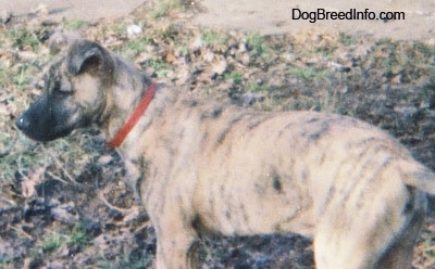 The back left side of a tan brindle Staffy Bull Pit that is standing in grass that is covered in leaves. It is looking to the left. The dogs snout is black and its ears are curled over to the front of its head.