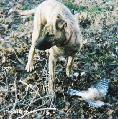 Front view - A brindle Staffy Bull Pit is standing in grass and leaves. It is looking to the left and under it is a dead bird.