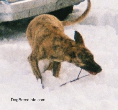 A tan brindle Staffy Bull Pit has a stick in its mouth and it is standing in snow in front of a car.