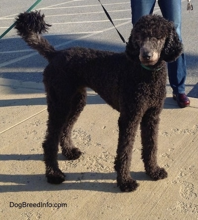 The Right Side Of A Thick Curly Coated Black Standard Poodle Dog Standing Across