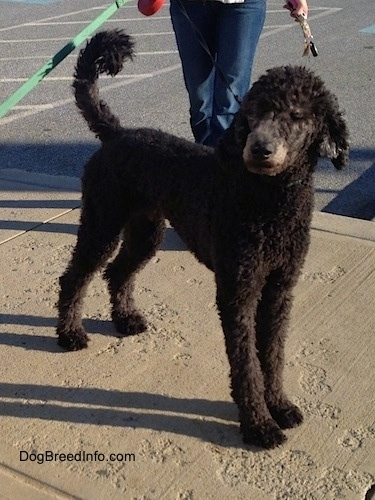 The front right side of a shaved black Standard Poodle dog standing across a sidewalk looking to the left. There is a person standing behind it. The dog's tail is up.