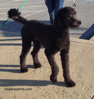 The front right side of a wavy coated, black Standard Poodle dog standing on a sidewalk looking to the right. There is a person walking towards it.