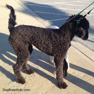The right side of a black Standard Poodle dog standing across a sidewalk and there is another dog behind it inspecting the Poodle.