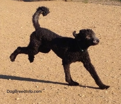 Action shot - A black Standard Poodle dog running across a dirt surface with its tail up in the air.