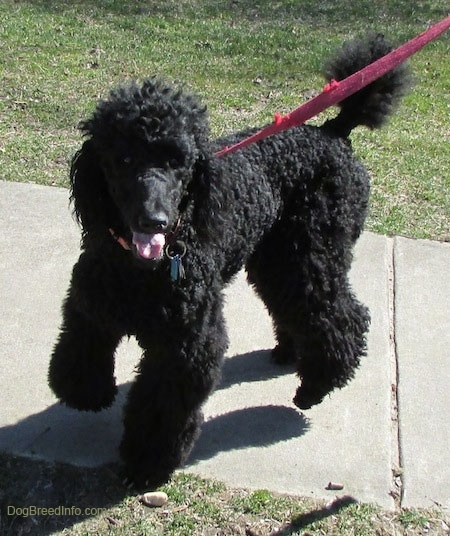 A standard black Poodle is on a red leash standing on a sidewalk and beginning to turn around. Its mouth is open and tongue is out and its front paw is in the air.