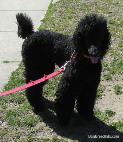 The front right side of a black Standard Poodle dog standing across a patchy yard. It is looking forward, its mouth is open and its tongue is sticking out. It has long wavy hair.