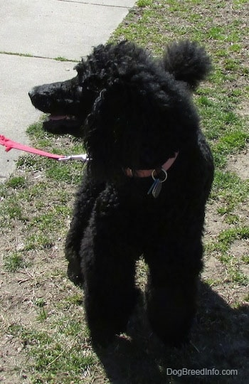 Front view - A black Standard Poodle dog standing in patchy grass looking to the left, its mouth is slightly open and it looks like it is smiling.
