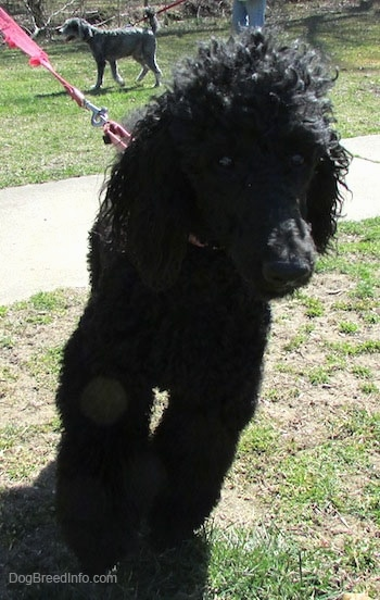 Close up front view - A black Standard Poodle dog walking across a dirt and grass surface. There is another dog behind it across the field. It has long curly hair on its head.