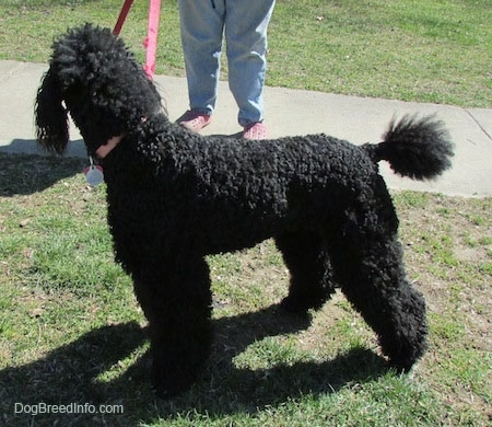 The left side of a large, black Standard Poodle dog standing across grass looking at a person that is standing on a walkway next to it.