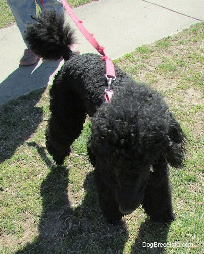 Top down view of a black Standard Poodle dog standing across a patchy grass surface and it is looking forward.